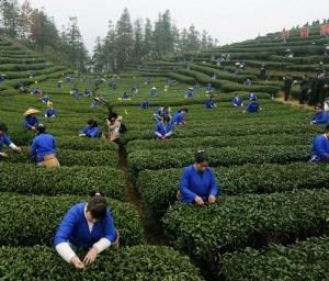 Чай может стать лекарством от рака